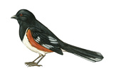 Rufous-Sided Towhee (Pipilo Erythrophthalmus)  Birds