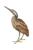 American Bittern (Botaurus Lentiginosus)  Birds