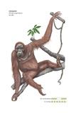 Female Orangutan (Pongo Pygmaeus)  Ape  Mammals