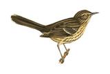 Sage Thrasher (Oreoscoptes Montanus)  Birds