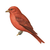 Summer Tanager (Piranga Rubra)  Birds