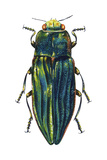 Metallic Wood-Boring Beetle (Buprestidae)  Insects
