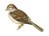 Field Sparrow (Spizella Pusilla)  Birds