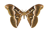 Saturniid Moth (Cynthia Moth) (Samia Walkeri)  Insects