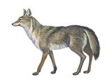 Coyote (Canis Latrans)  Mammals