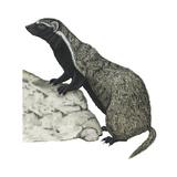Grison (Galictis)  Mammals