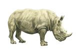 White Rhinoceros (Ceratotherium Simus)  Mammals