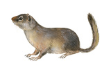 Ground Squirrel (Sciuridae)  Mammals