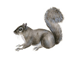 Eastern Gray Squirrel (Sciurus Carolinensis)  Mammals