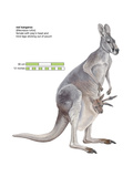 Female Red Kangaroo with Joey (Macropus Rufus)  Marsupial  Mammals