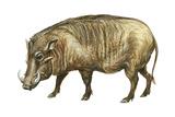Warthog (Phacochoerus Aethiopicus)  Mammals