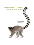Ring-Tailed Lemur (Lemur Catta)  Mammals