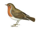 European Robin (Erithacus Rubecula)  Birds