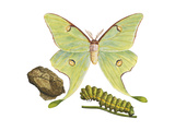 Luna Moth  Caterpillar  and Pupae (Actias Luna)  Insects