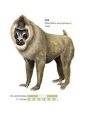 Male Drill (Mandrillus Leucophaeus)  Monkey  Mammals