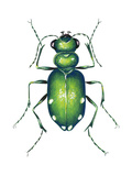 Tiger Beetle Adult (Cicindelidae)  Insects