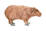 Capybara (Hydrochoerus Capybara)  Mammals