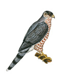 Cooper's Hawk (Accipiter Cooperi)  Chicken Hawk  Birds