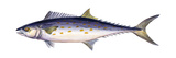 Spanish Mackerel (Scomberomorus Maculatus)  Fishes