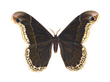 Promethea Moth (Callosamia Promethea)  Insects