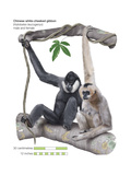 Male and Female Chinese White-Cheeked Gibbon (Hylobates Leucogenys)  Ape  Mammals