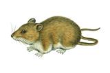 Rice Rat (Oryzomys Palustris)  Mammals