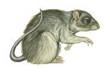 Common Domestic Rat (Rattus Norvegicus)  Mammals