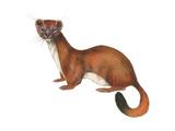 Ermine (Mustela)  Weasel  Mammals