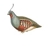 Mountain Quail (Oreortyx Pictus)  Birds