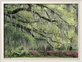 Live Oak Tree Draped with Spanish Moss, Savannah, Georgia, USA Photo encadrée par Adam Jones