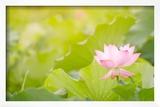 Morning Lotus Flower in the Farm under Warm Sunlight