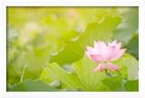 Morning Lotus Flower in the Farm under Warm Sunlight Reproduction encadrée par Elwynn