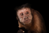 A Brown Tufted Capuchin  Cebus Apella  at the Rolling Hills Zoo
