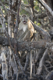 A Long-Tailed Macaque Sitting on a Tree Branch in Komodo National Park