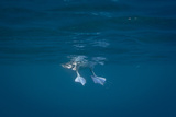 Blue-Footed Booby  Sula Nebouxii  Feet Seen from Underwater