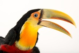 A Red Breasted Toucan  Ramphastos Dicolorus  at the Dallas World Aquarium