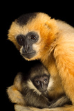 A Critically Endangered Female Northern White Cheecked Gibbon with Her Year Old Baby