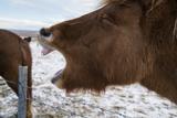 Icelandic Horses  Equus Ferus Caballus  Near Thingvellir National Park in Western Iceland