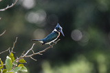 An Amazon Kingfisher  Chloroceryle Amazona  Perching on a Tree Branch