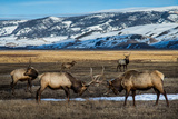 A Pair of Elk Battle in the 24 700-Acre National Elk Refuge Near Jackson  Wyoming