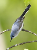 The Blue-Gray Gnatcatcher  Pollioptera Caerulea  Perching on a Tree Branch