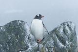 Snow Falls on a Gentoo Penguin  Pygoscelis Papua  at Ronge Island in Antarctica