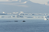 Killer Whales Swimming in Antarctic Sound and the Weddell Sea Near Antarctica