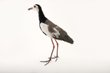 A Long Toed Lapwing  Vanellus Crassirostris  at  Sylvan Heights Bird Park