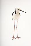 A White Headed Stilt  Himantopus Leucocephalus  at Healesville Sanctuary