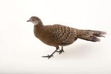 A Grey Peacock Pheasant  Polyplectron Bicalcaratum  at Sylvan Heights Bird Park