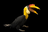 A Male Wrinkled Hornbill  Aceros Corrugatus  at the Houston Zoo