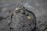 A Lava Lizard Rests on Top of a Marine Iguana on Fernandina Island