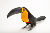 A Vulnerable Aerial Toucan  Ramphastos Vitelinus Ariel  at the Dallas World Aquarium
