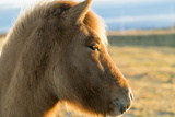 An Icelandic Horse  Equus Ferus Caballus  on South Coast of Iceland
